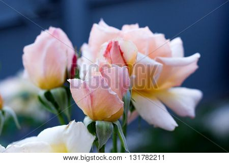 Beautiful Pink Rose On A Dark Background, Card