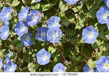 Sky blue morning glory in a garden