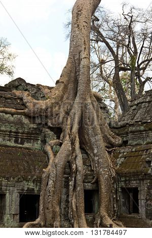 Tree Roots Taking Over Ta Phrom