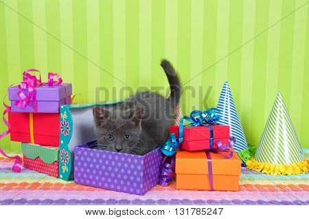 two month old gray and white tabby kitten peeking out of birthday present in a pile of brightly colored boxes with party hats bright green stripped background with space for copy above