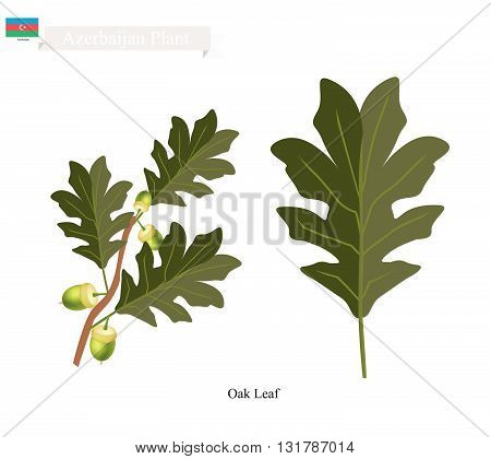 Azerbaijan Plant Green Oak Leaf. One of Two Plants on National Emblem of Azerbaijan.