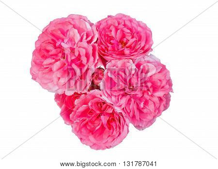 Beautiful and large flower of rose on a white background