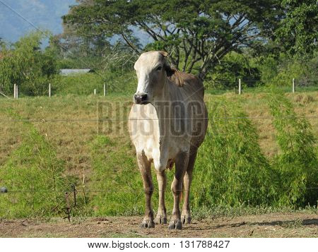 nature lives around a beautiful cow in colombia