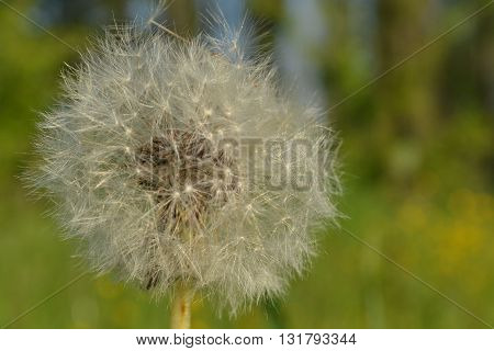 the dandelion on the front, fluffy dandelion on a green background