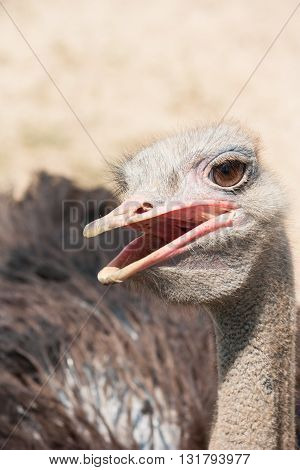 Head of ostrich in zoo looking and open mouth