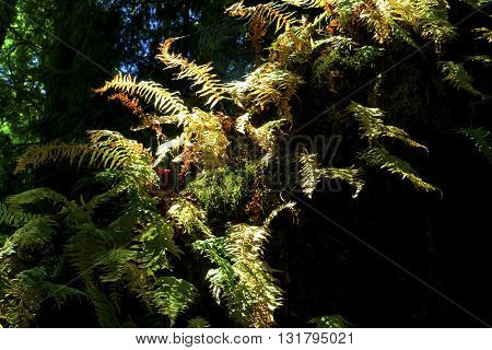 a picture of an exterior Pacific Northwest vine maple tree with  sword ferns in winter