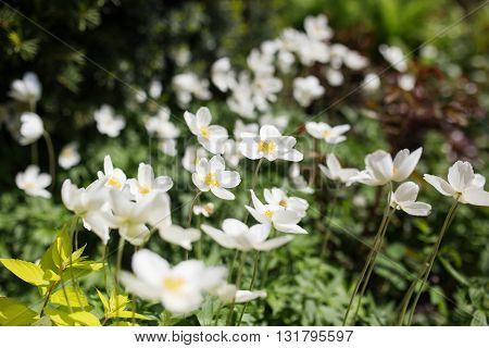 White flowers of the snowdrop anemone sylvestris, close up, retro tinted