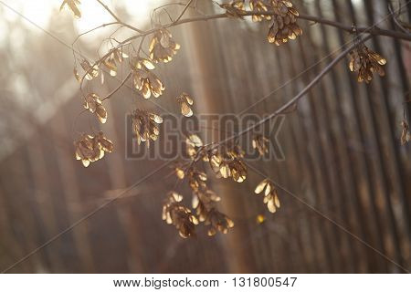 The seeds of the maple in rays of the setting sun