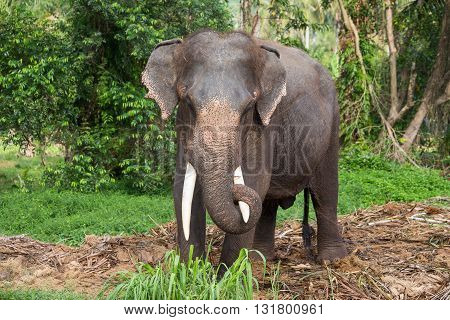 Thai elephant in Jungle. Island Koh Phangan Thailand
