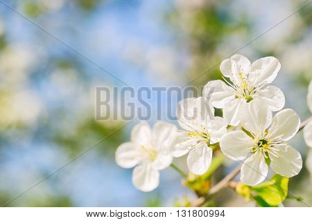 Beautiful cherry flowers in garden in warm colors