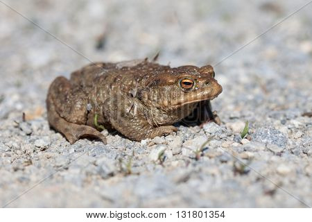 Portrait of a big toad in spring