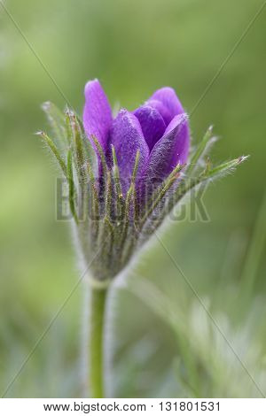 Purple furry flower in the sun on a green background