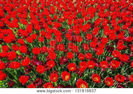 Fresh blooming tulips in the nice spring garden.Keukenhof.