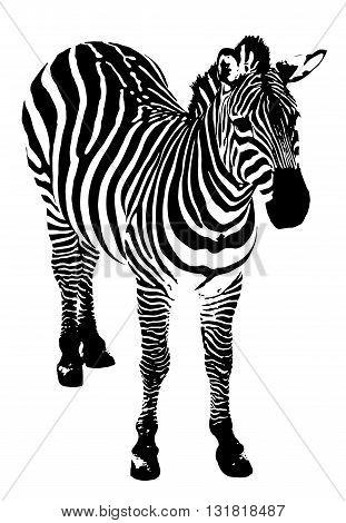 Vector illustration of Zebra on a white background