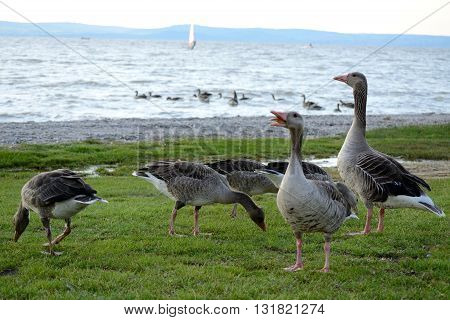 Greylag geese on the beach and in the sea - closeup