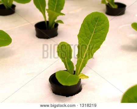 Vegetable Call Hydroponic