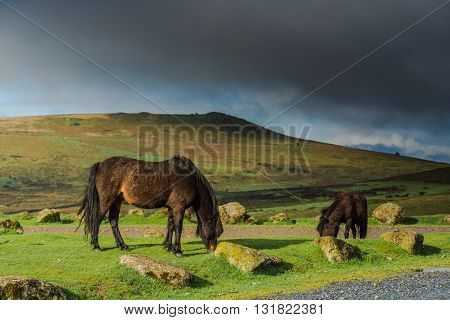 Wild Horses Grazing On Hills