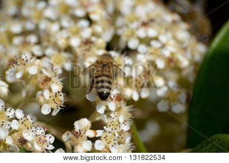 Bee pollinates white and yellow flowers at springtime