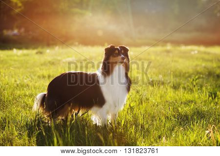 adorable tricolor sheltie dog posing outdoors in summer