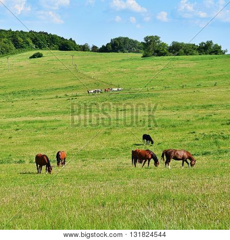 Beautiful Horses Grazing Freely In Nature.beautiful Natural Colored Background With Wild Animals.