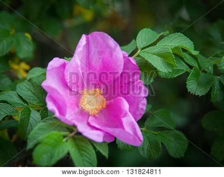 Pink flower wild rose close up in summer