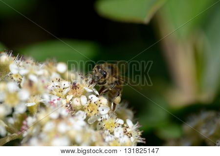 Bee pollinates white and yellow flowers in front of green background
