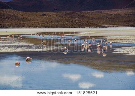 Flamingos eating in a laguna at the national park Uyuni Bolivia