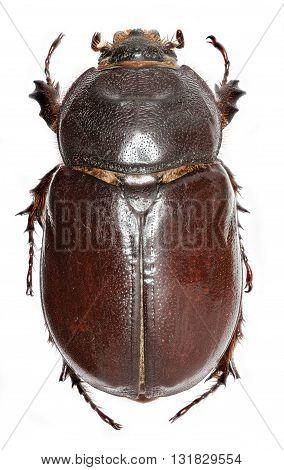 European rhinoceros beetle - Oryctes nasicornis  (Linnaeus, 1758)