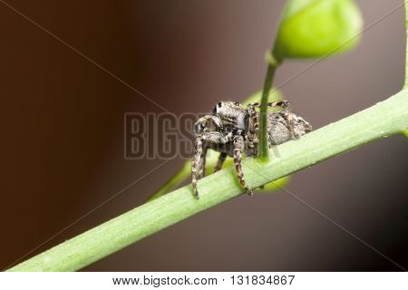 The Jumper Spider
