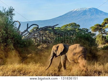 Elephant in Kenya with Kilimanjaro mount in the background Africa