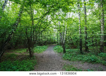 Footpath in the birch wood in the summer