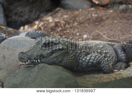 A Dwarf Crocodile resting on the rocks