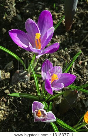 Three krokuy purple flowers grow in the grass in sunlight