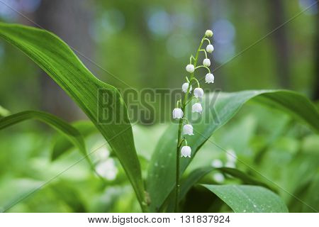 The image of a may lily