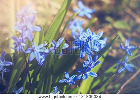 Scilla siberica (Siberian squill or wood squill) with sunlight pouring on it