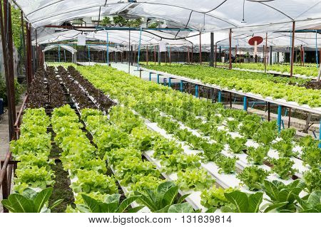 Hydroponic vegetables growing in greenhouse. hydroponic, farm, green, vegetable