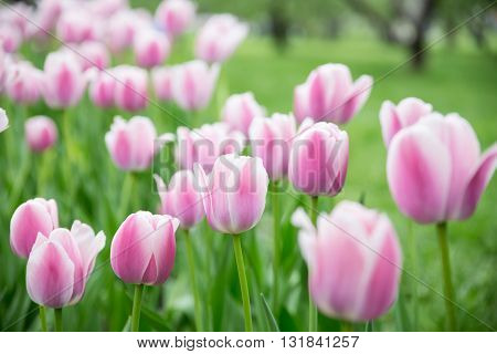 Tulips in garden. Selective soft focuse and boke on background