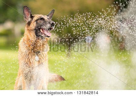 German Shepherd Dog Outside Playing In Water