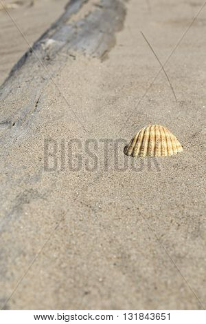 Yellow Shell In The Sand