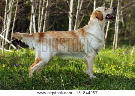 dog Golden Retriever standing in the show position on the forest background