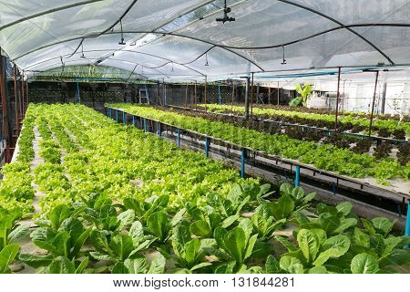 Hydroponic vegetables growing in greenhouse.hydroponic, farm, green,