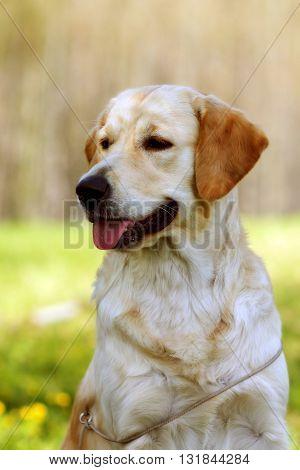 beautiful purebred dog Golden-Retriever summer outdoors portrait closeup