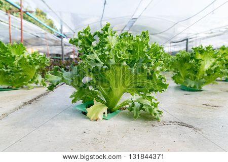 cultivation hydroponics green vegetable in farm. hydroponic, farm, green, garden,