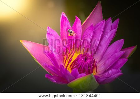 Beautiful pink lotus Blooming beautiful A swarm of bees to pollen lotus one. Sunday's terms Wicks shines down. On a black background dim