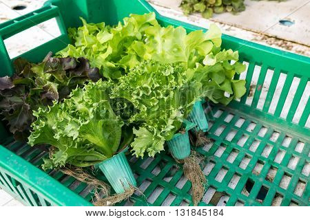 Hydroponic vegetable in basket, basket, hydroponic, green