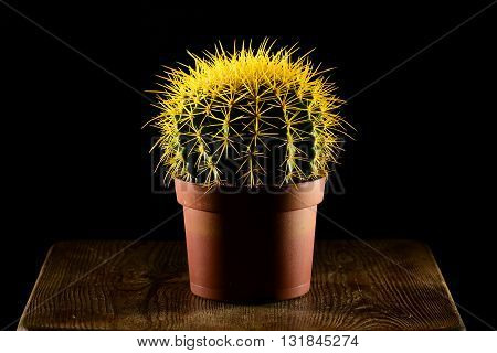 Yellow spiked round-shaped cactus in pot standing on the wooden table