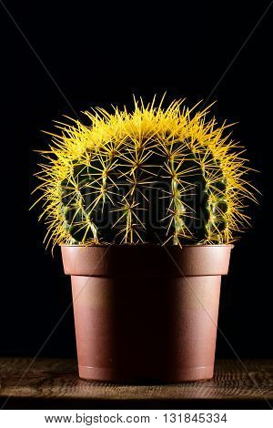 Yellow spiked round-shaped cactus in brown pot