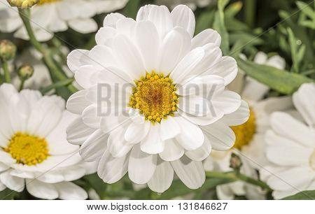 White Marguerite Flower close up macro image.