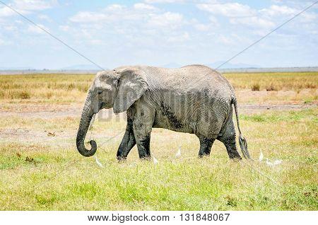 Elephant in  Masai Mara resort park in Kenya Africa