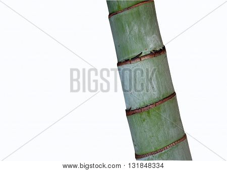 Bamboo palm trunk detail isolated on white background. Clipping path included.